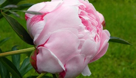Free Gardening Talk - Peonies and Healthy Soil